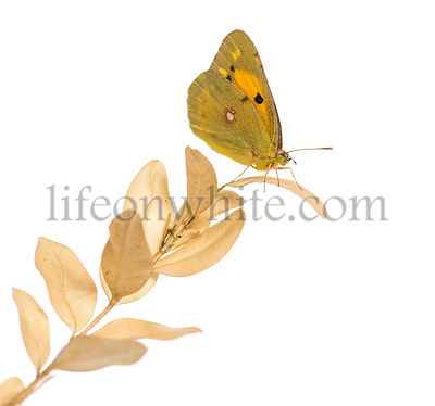 Side view of a Clouded Sulphur on a plant, Colias philodice, isolated on white