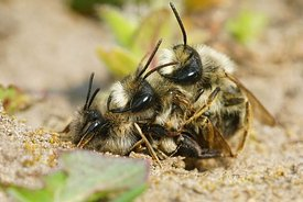 Closeup of a copulation of 2 males and 1 female grey-backed mining bee, Andrena vaga, on the ground