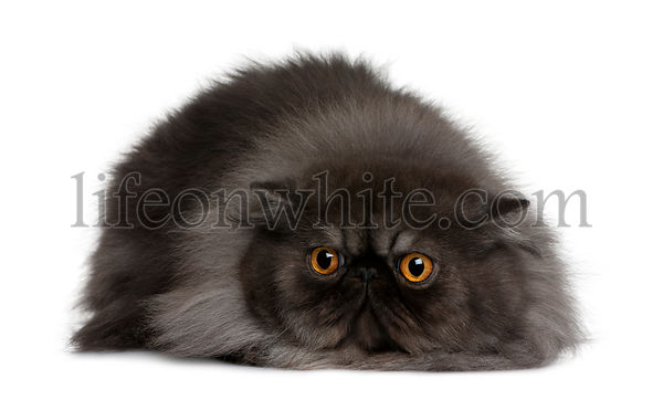 Persian cat, 19 months old, lying in front of white background