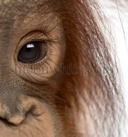 Close-up of a young Bornean orangutan\'s eye, Pongo pygmaeus, 18 months old, isolated on white