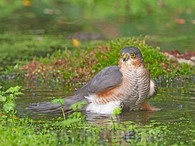 Sparrowhawk Accipiter nisus male bathing in woodland pool  Norfolk.