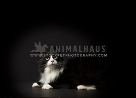 Fluffy tuxedo cat instudio with dramatic lighting and black background