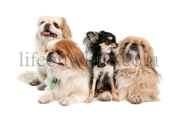 group of 3 Pekingeses and a chihuahua
