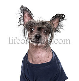 Chinese Crested Dog , 5 years old, in blue clothing against white background