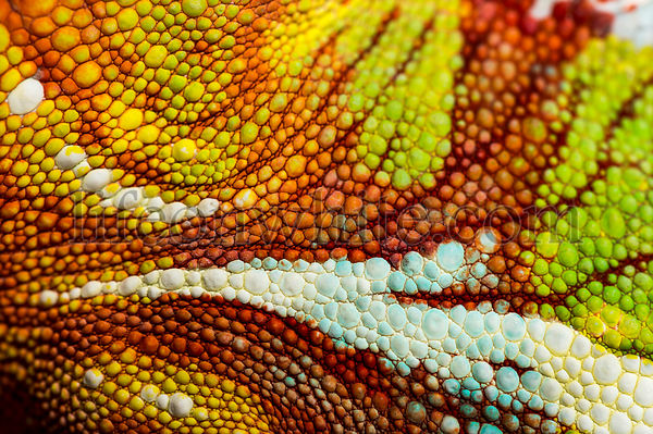 Skin of Panther chameleon, Furcifer pardalis, in close up against white background