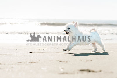 A small white dog happily running along the sandy ocean shore
