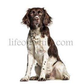 Munsterlander dog , 1 year old, sitting against white background