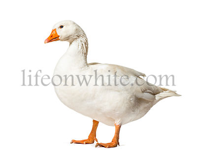 Domestic goose standing against white background