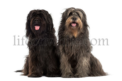 Couple of Catalan sheepdogs being together, panting, isolated on white