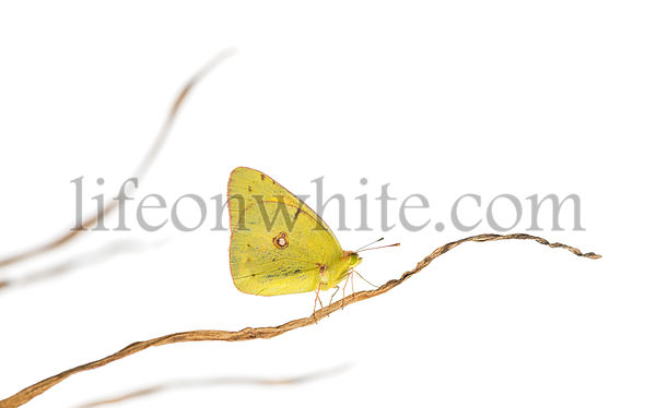 Side view of a Clouded Sulphur landed on a branch, Colias philodice, isolated on white