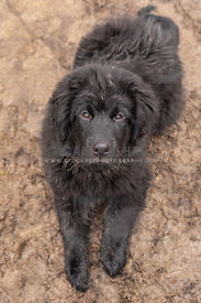 A very muddy newfoundland puppy