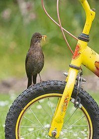 Blackbird, Turdus merula, female collecting food for chicks in garden Norfolk spring