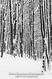 Image - Trees in snow, Wood Hill Wood, Alva, Clackmannanshire, Scotland