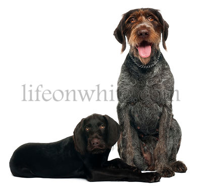 German shorthaired pointer puppy, 3 months old, sitting in front of white background and 6 years old, sitting in front of whi...