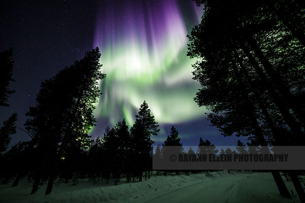 Strong Aurora between the trees in the forest in Finnish Lapland