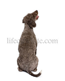 back view of a Rear view of Spanish water spaniel dog