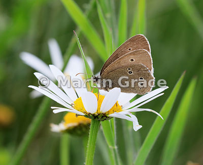 Under side of Ringlet butterfly (Aphantopus hyperantus) perching on an Oxeye Daisy, Nethybridge, Cairngorms National Park, Sc...
