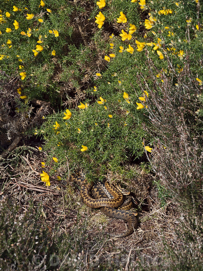 Common European Adder Vipera berus male and female warming up in sun trap on heath Holt North Norfolk April