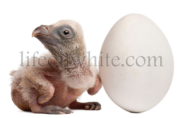 Griffon Vulture with his egg, Gyps fulvus, 4 days old, in front of white background