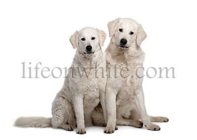 Two Kuvasz dogs, 17 months old, sitting