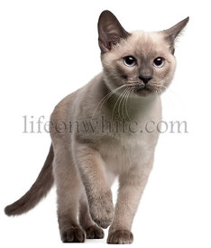 Thai kitten, 4 months old, walking in front of white background