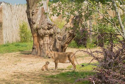 Terre-des-Lions-Zooparc-de-Beauval_Mir-Photo-ADT41_(7)