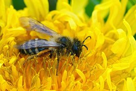 Closeup of a female White-bellied mining bee, Andrena gravida on a yellow dandelion flower, Taraxacum officinale