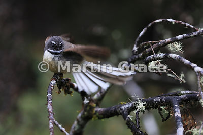 South Island subspecies of New Zealand Fantail (Rhipidura fuliginosa ssp fuliginosa) swirls its wings and tail like a flamenc...