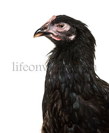 Domestic chicken against white background