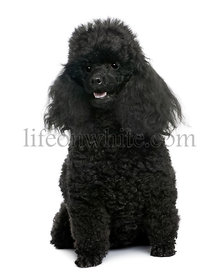 Black Poodle sitting (5 years old)