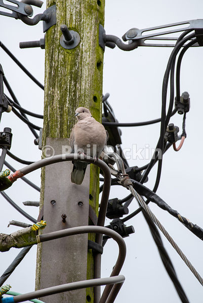 Collard dove perched amongst power lines.