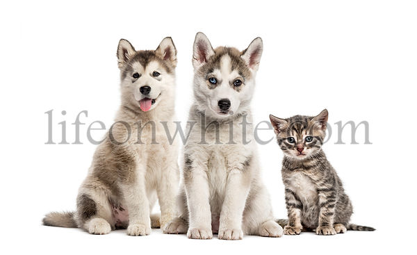 Groups of dogs, Siberian Husky puppy, Alaskan Malamute puppy, American Polydactyl kitten, in front of white background