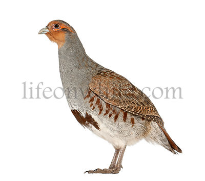 Grey Partridge, Perdix perdix, also known as the English Partridge, Hungarian Partridge, or Hun, a game bird in the pheasant ...