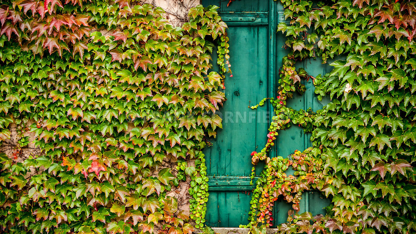 Ivy Window, Alsace, France.