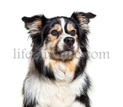 Headshot of a Border Collie, isolated on white