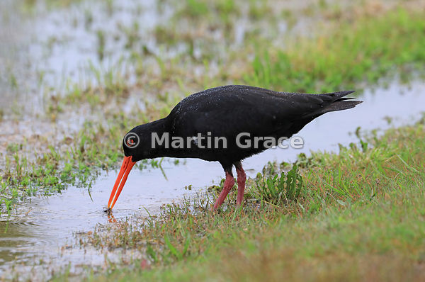 Dark morph Variable Oystercatcher (Black Oystercatcher) (Haematopus unicolor) washing an invertebrate in a large rain puddle ...