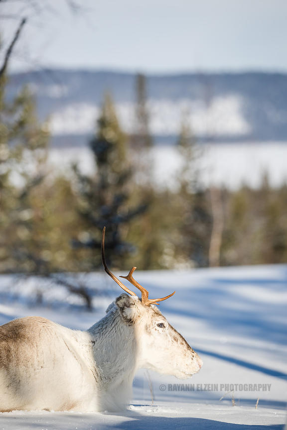 Reindeer lying in the snow