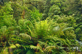 Temperate rainforest with ferns - Oceania, New Zealand, South Island, Southland, Fiordland, Hollyford River, Lake Marion Trac...