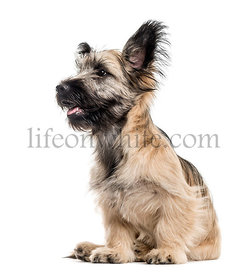Side view of a Skye Terrier dog isolated on white