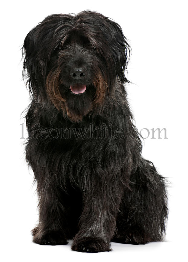 Catalan sheepdog, 6 years old, sitting in front of white background