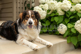 A shepherd dog laying on a front porch in front of hydrangeas