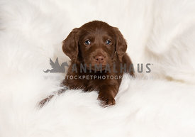 cute young labradoodle puppy on white blanket