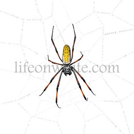Golden Orb-web spider in spider web, Nephila inaurata madagascariensis