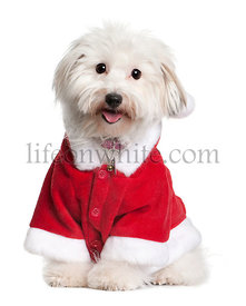 Coton de tulear dog in Santa suit, 1 year old, sitting in front of white background