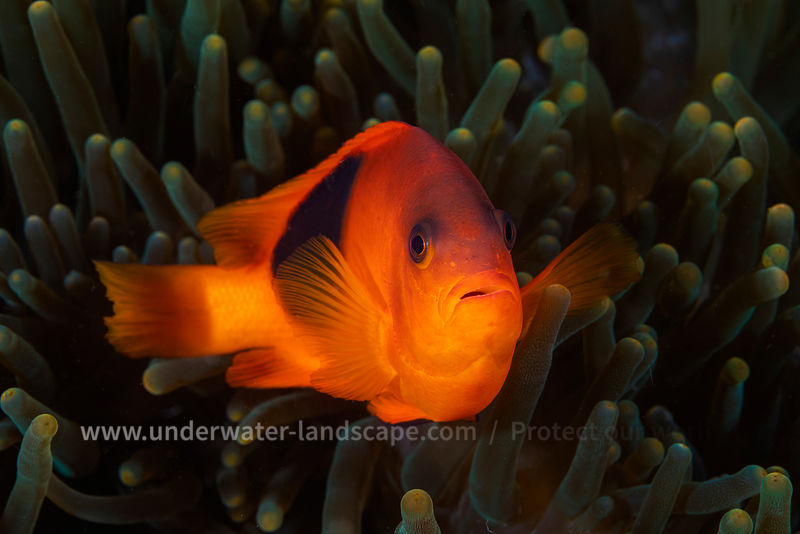 Saddle clownfish close up