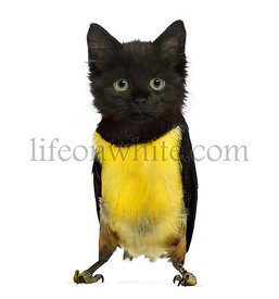 chimera with a Black kitten and body of Green Aracari Toucan against white background