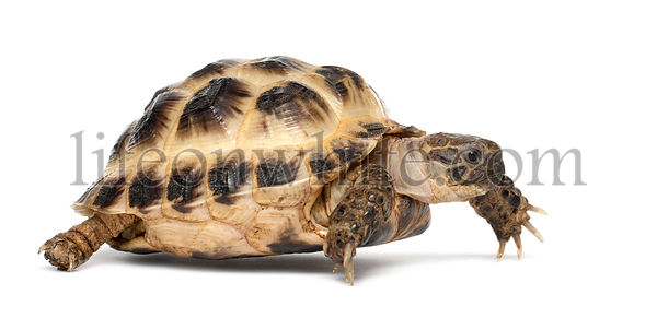 Young Russian tortoise, Horsfield\\'s tortoise or Central Asian tortoise, Agrionemys horsfieldii, against white background