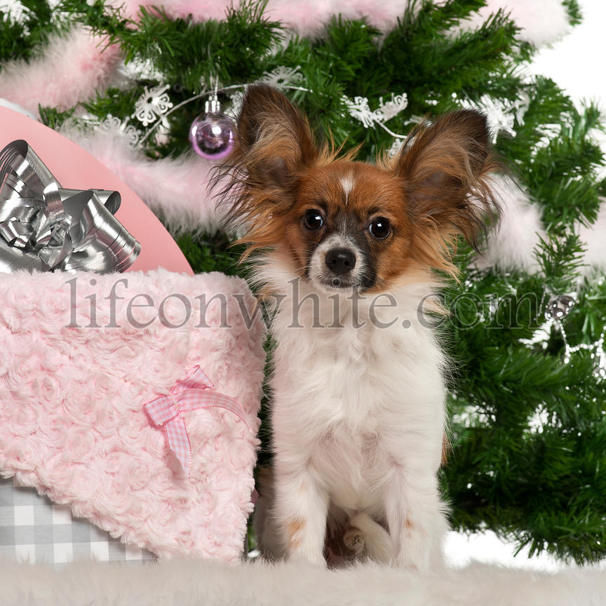 Papillon, 7 months old, sitting with Christmas tree and gifts