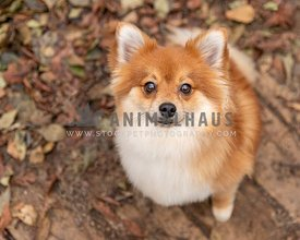 A red pomeranian dog in fall