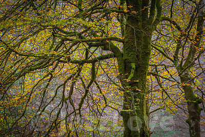 Beautiful tree with leaves changing colour covered with moss.